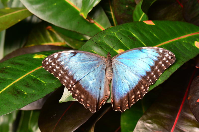 Blue morpho butterfly. A pretty morpho butterfly lands in the gardens royalty free stock images