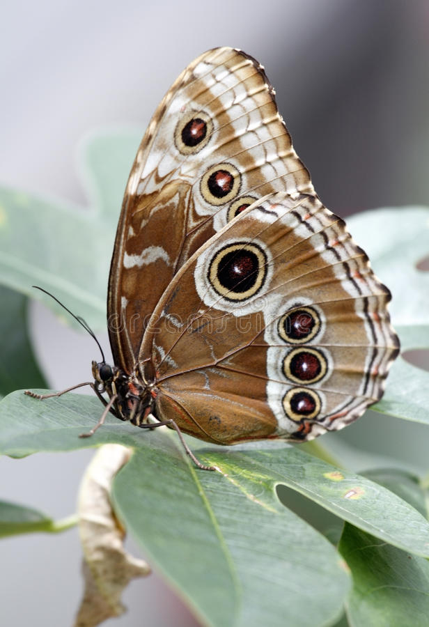 Blue Morpho Peleides Butterfly (underside colors) stock image