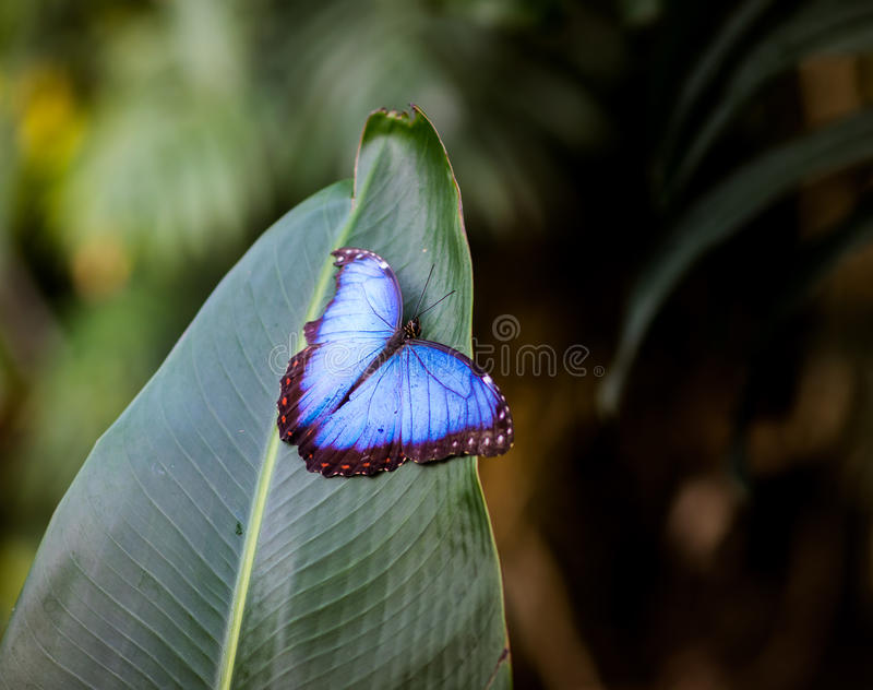 Blue Morpho peleides with open wings. stock photo