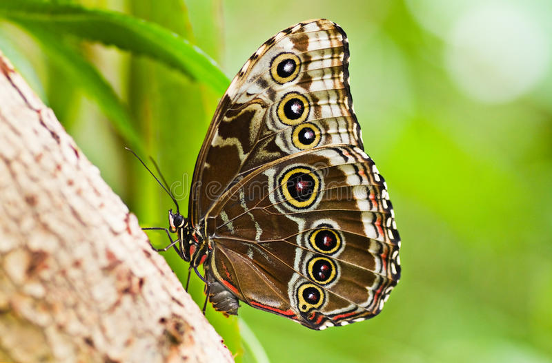 Blue morpho tropical butterfly stock photo