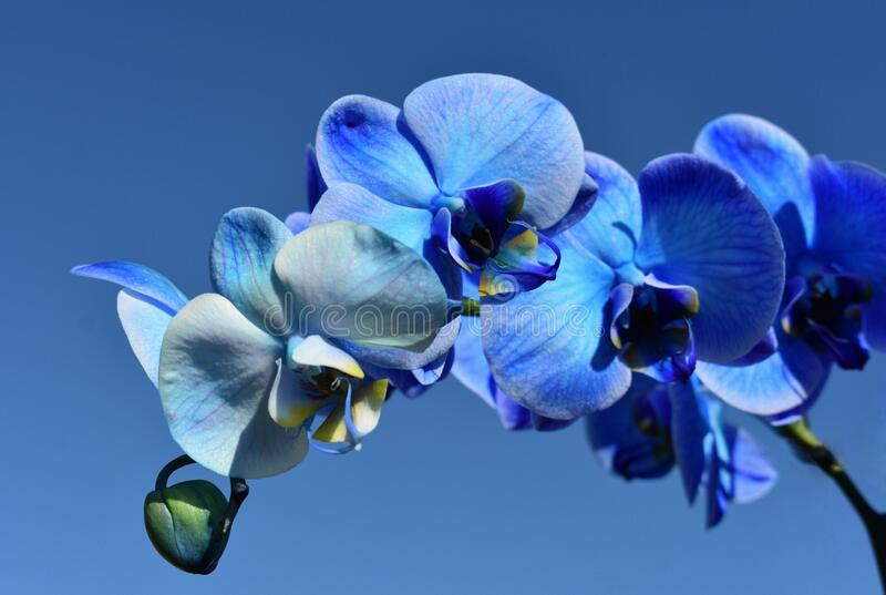 A blue moth orchid - Phalaenopsis blue royalty free stock photo