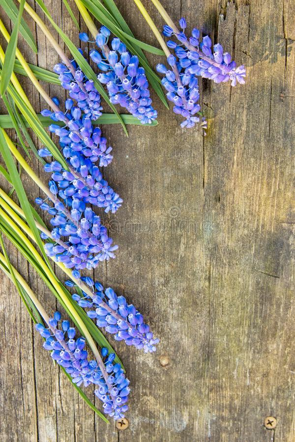 Blue Muscari flower grape hyacinths on wooden background, top view, place for text stock photo
