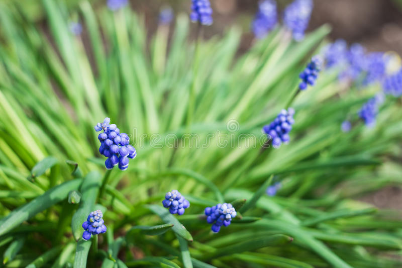 Blue muscari flowers royalty free stock images