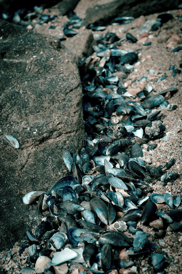 Blue mussel shells royalty free stock image
