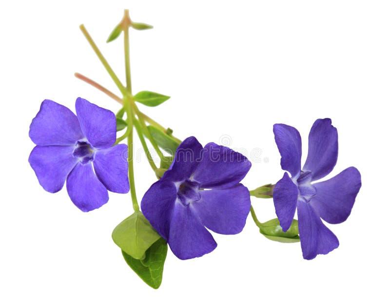 Blue Myrtle Periwinkle. Three blue myrtle periwinkle major vinca flowers royalty free stock image