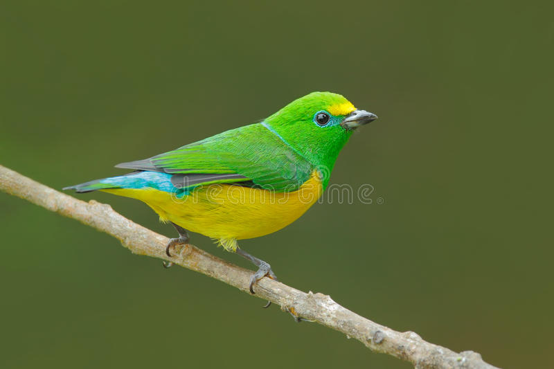 Blue-naped Chlorophonia, Chlorophonia cyanea, exotic tropic green song bird form Colombia. Wildlife from South America. Green and. Yellow stock photography