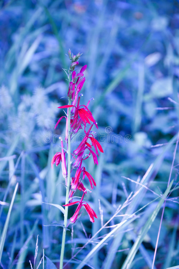 Download Blue Nature Grass Background With Red Flower. Stock Images - Image: 34125934