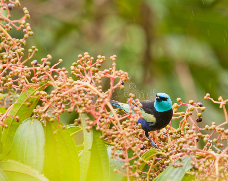 Download A Blue-necked Tanager With Fruits Stock Photo - Image: 19941002