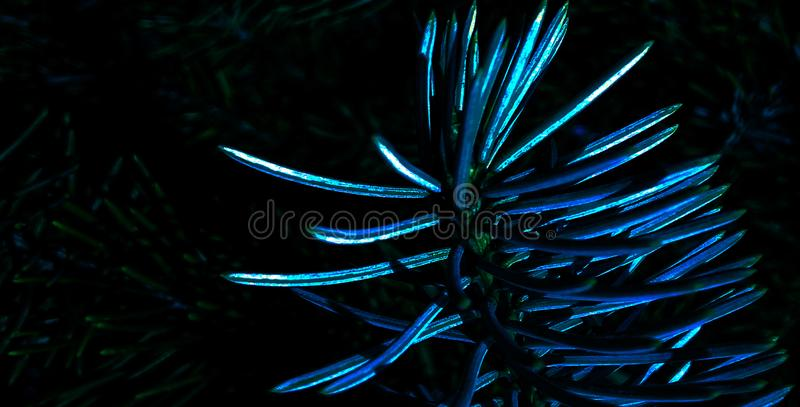 Blue night spruce in park royalty free stock photos