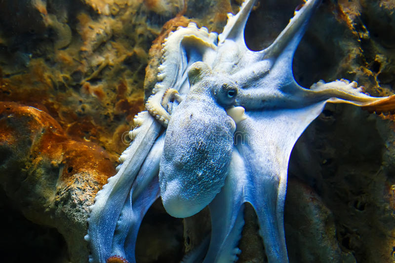 Blue octopus on sea rock stock images