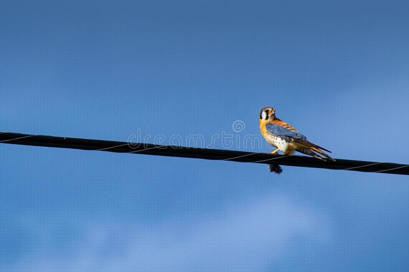 Blue and Orange Bird on Cord stock photography