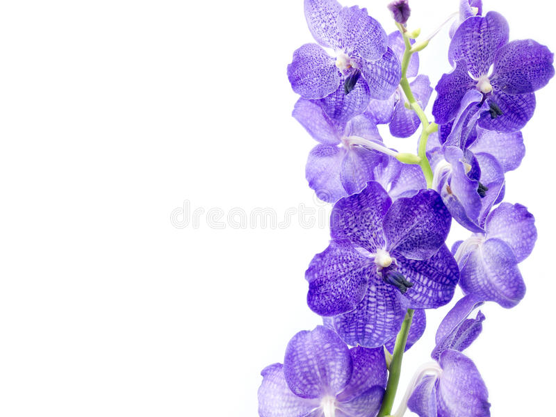 Blue Orchid. Isolated on white background royalty free stock photo