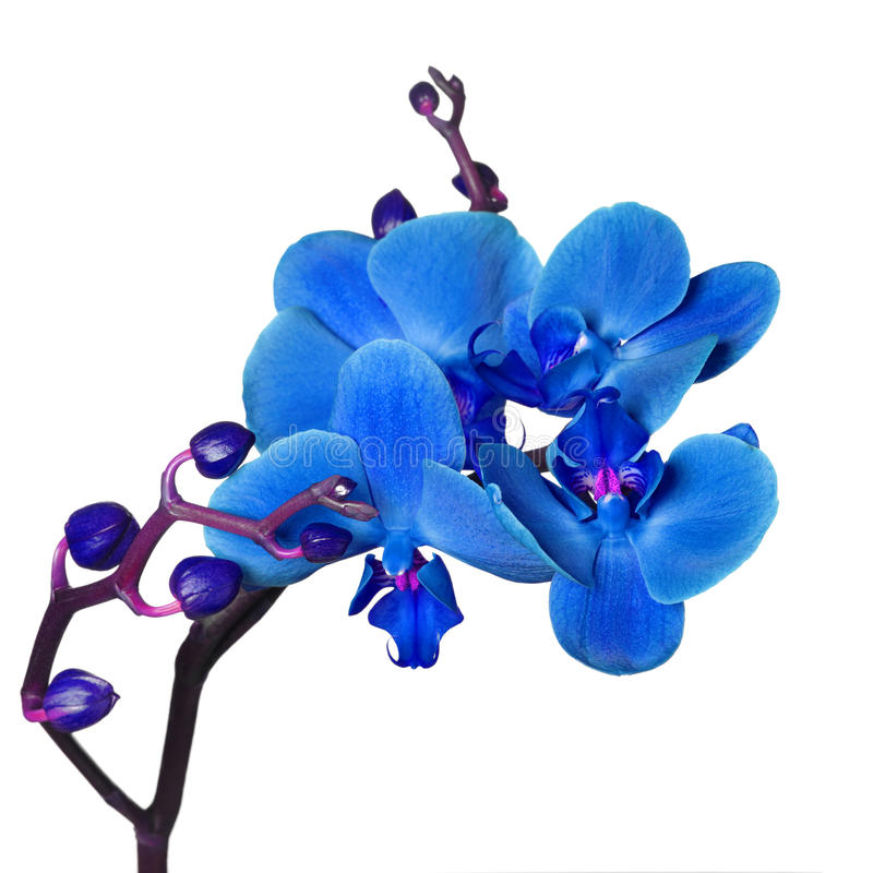 Free Blue Orchid Royalty Free Stock Image - 19078416