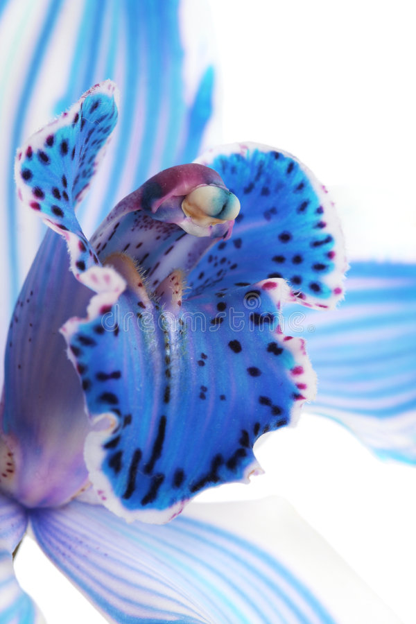Blue orchid stock photo