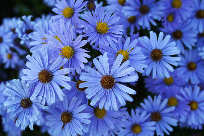 Blue ox-eyes. A lot of blue flowers stock photo
