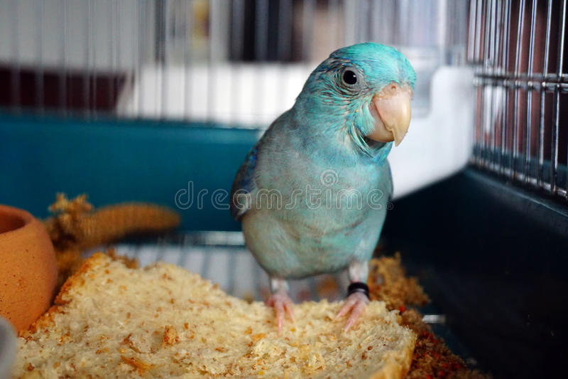 Blue Pacific Parrotlet, Forpus coelestis playing. In his cage stock photography