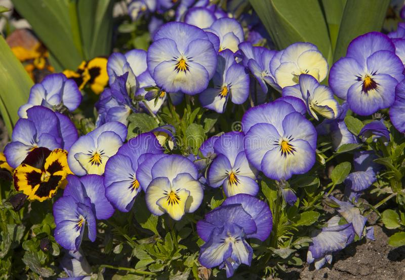 Blue pansies on flower-bed stock photos