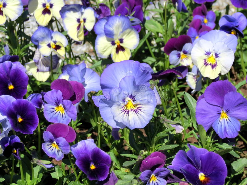 Blue pansy. Beautiful blue pansy at the garden royalty free stock photo