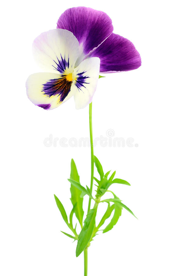 Blue pansy flower stock images