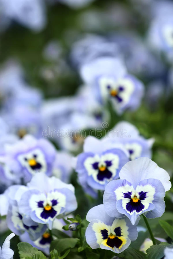 Blue pansy flowers. Beautiful blue pansy flowers as background stock photo