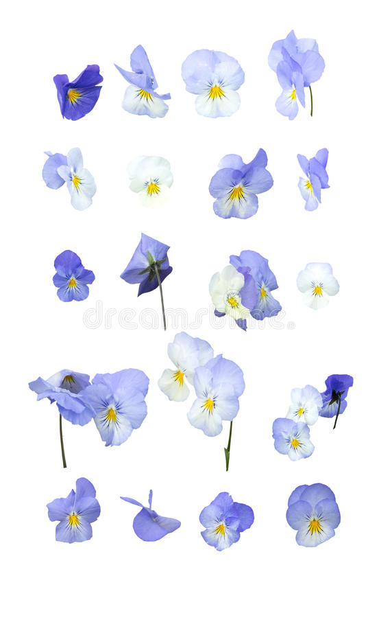Blue pansy flowers. Design element arranged in rows isolated on white stock images