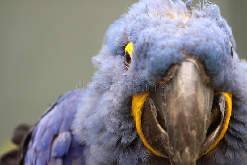 Download Blue Parrot stock image. Image of view, bird, tropical - 16014279
