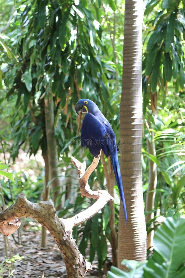 Blue parrot, Jungle Island, Miami, Florida. Blue parrot in tree at Jungle Island, Miami, Florida royalty free stock photos