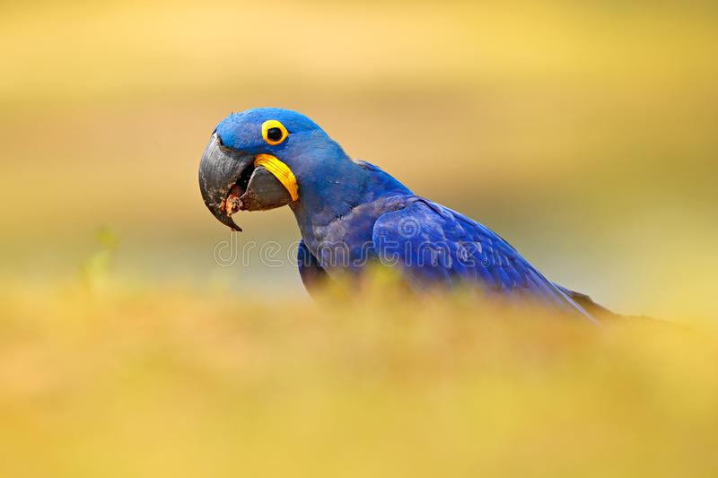 Blue parrot. Portrait big blue parrot Hyacinth Macaw, Anodorhynchus hyacinthinus, with drop of water on the bill, Pantanal, Brazil. South America. Beautiful stock photo