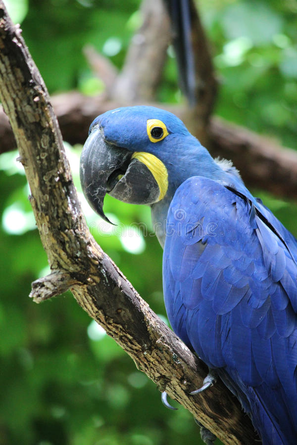 Blue Parrot. Blue and Yellow Parrot at Nashville Zoo stock image