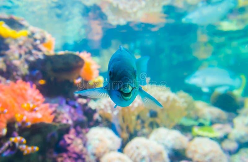 Blue parrotfish stock photo