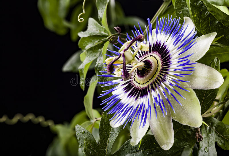 Blue passion flower. Detail of a blue passion flower with water droplets. Background is partially black and partially green leaves stock images