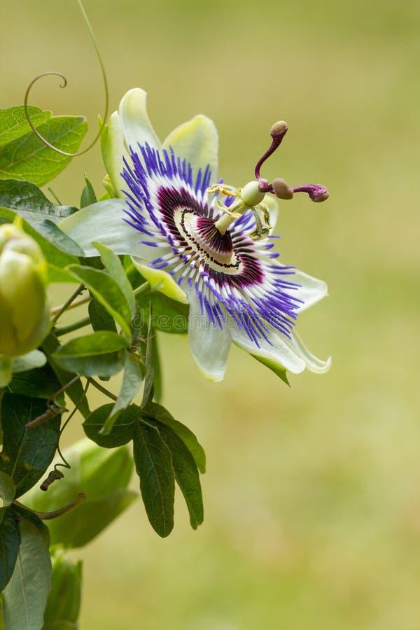 Blue passion flower. Passiflora caerulea stock images