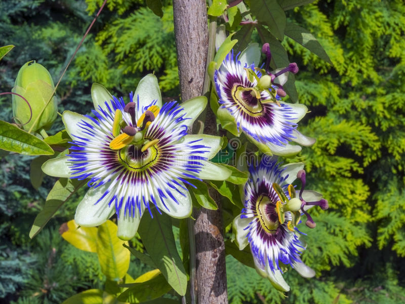 Blue passion flower (Passiflora caerulea). In a garden in summer royalty free stock image