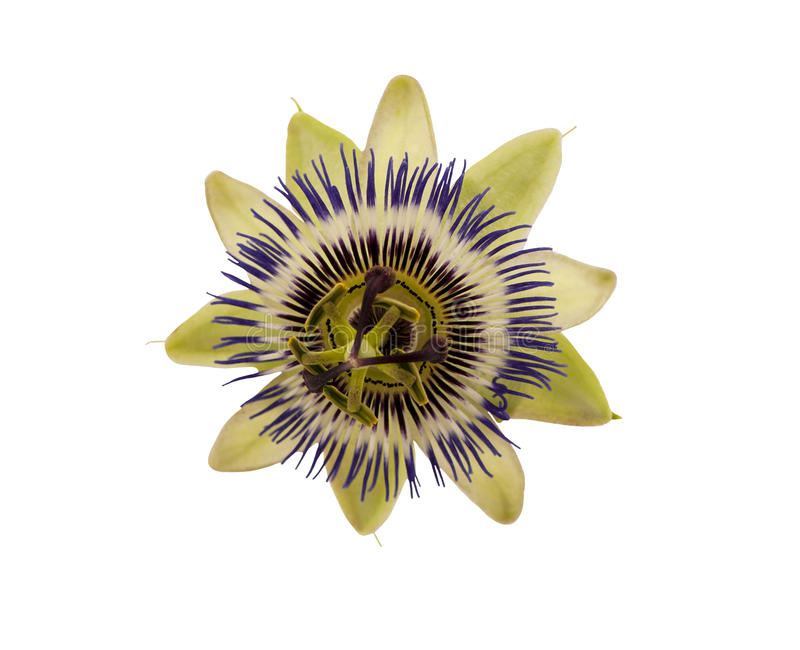 Blue passion flower. Passiflora caerulea. Blue passion flower on white background royalty free stock photography