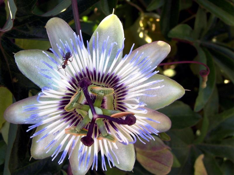 Blue passion flower-Passiflora. It is a creeping vine with blue-white flowers Flowers bloom in summer and are fragrant. Flowers have white petals and sepals and stock image