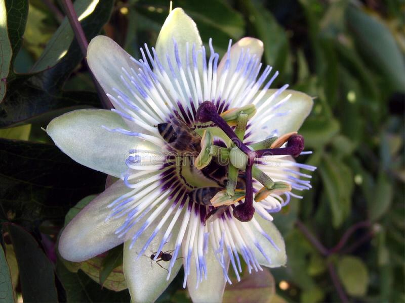 Blue passion flower-Passiflora. It is a creeping vine with blue-white flowers Flowers bloom in summer and are fragrant. Flowers have white petals and sepals and royalty free stock image