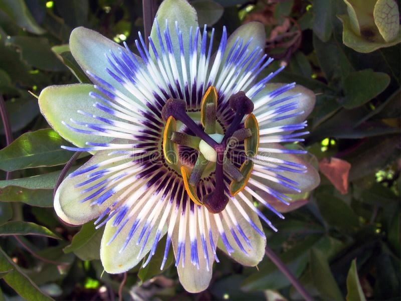 Blue passion flower-Passiflora. It is a creeping vine with blue-white flowers Flowers bloom in summer and are fragrant. Flowers have white petals and sepals and royalty free stock photo