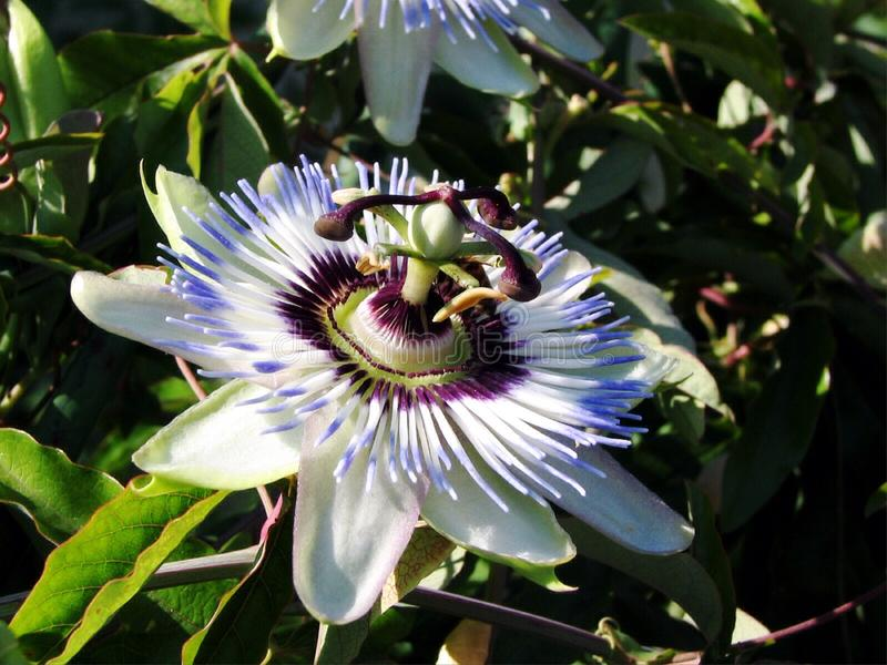 Blue passion flower-Passiflora. It is a creeping vine with blue-white flowers Flowers bloom in summer and are fragrant. Flowers have white petals and sepals and stock images