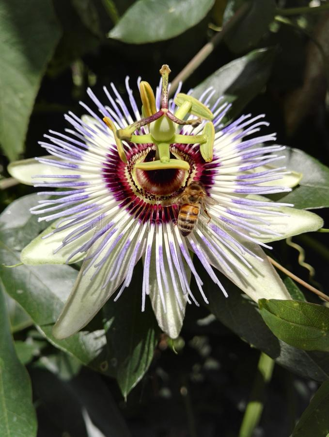 A blue passionflower, Passiflora caerulea, with a bee pollinating royalty free stock images