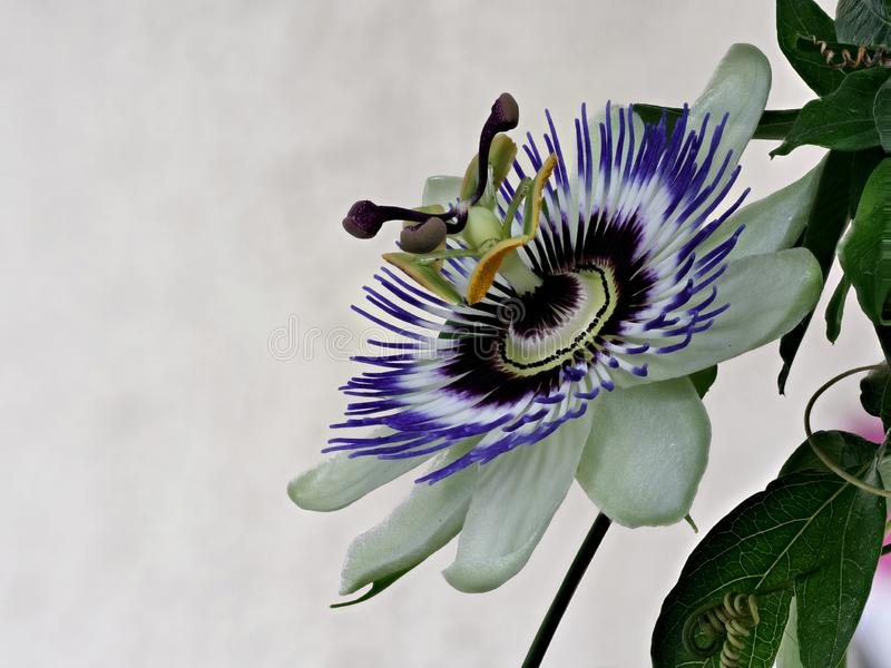 Blue passionflower, Passiflora caerulea, home is northern Argentina and southern Brazil stock photo