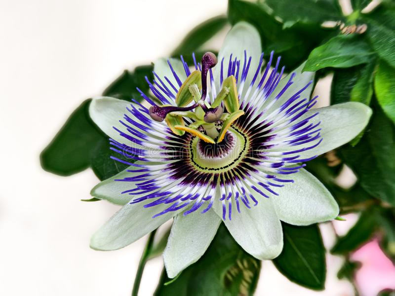 Blue passionflower, Passiflora caerulea, home is northern Argentina and southern Brazil stock photography