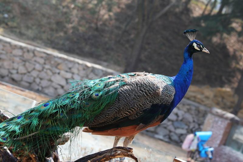 Blue Peacock(Pavo cristatus). It is 90-230 cm long, 130-160 cm in wingspan and 4-6 kg in weight. The male has an upright occipital crown with gorgeous stock photo