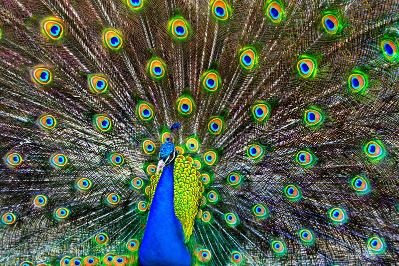 Blue Peacock. A blue peacock with colorful open feathers filling the entire frame