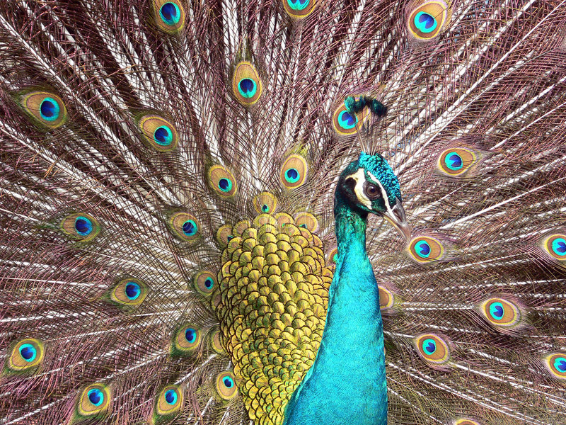 Download Blue Peacock stock image. Image of showoff, fauna, wildlife - 454691