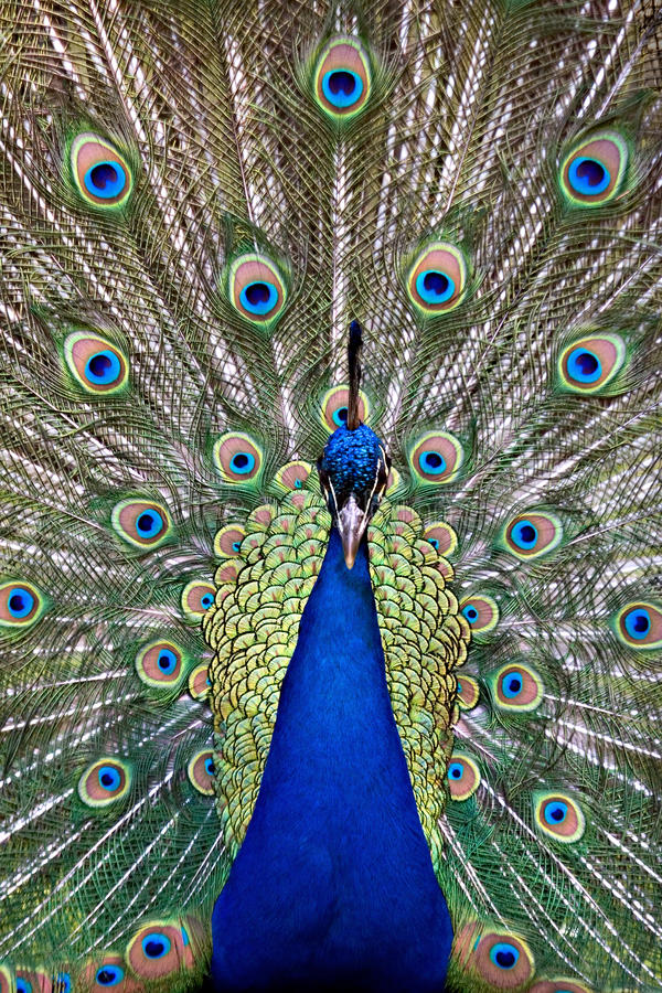 Blue peacock displaying colorful tail royalty free stock photography