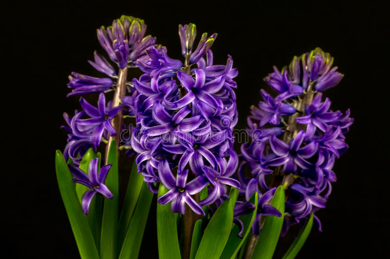 Blue pearl hyacinth stock photo