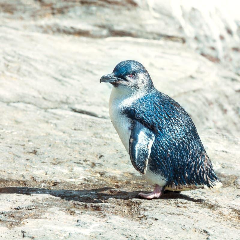 Blue penguin royalty free stock photo