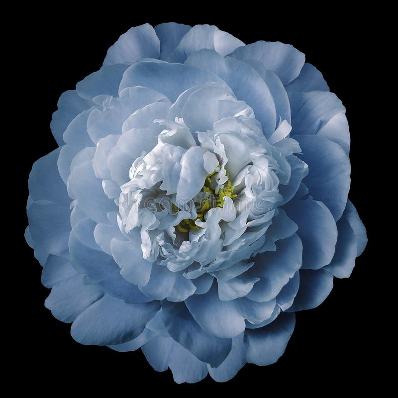 Blue peony flower with yellow stamens on an isolated black background with clipping path. Closeup no shadows. For design. royalty free stock images