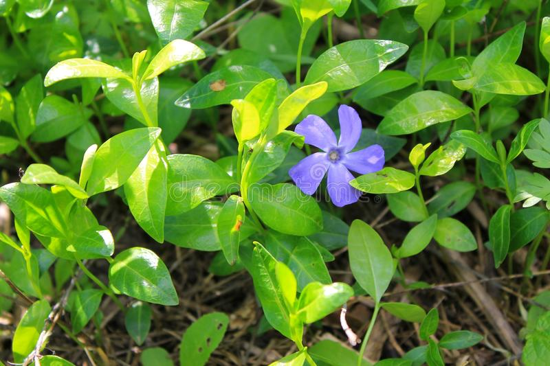 Blue periwinkle (vinca minor). In garden royalty free stock image