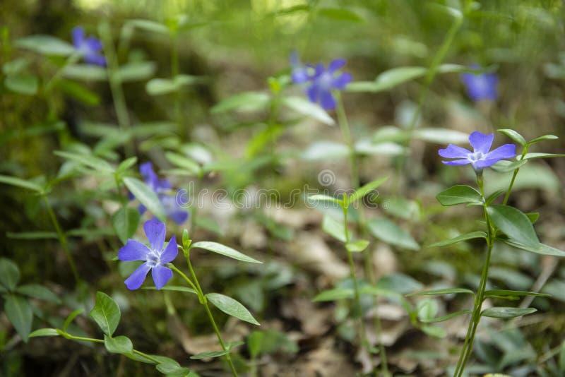 Blue periwinkles flowers VINCA MAJOR stock images